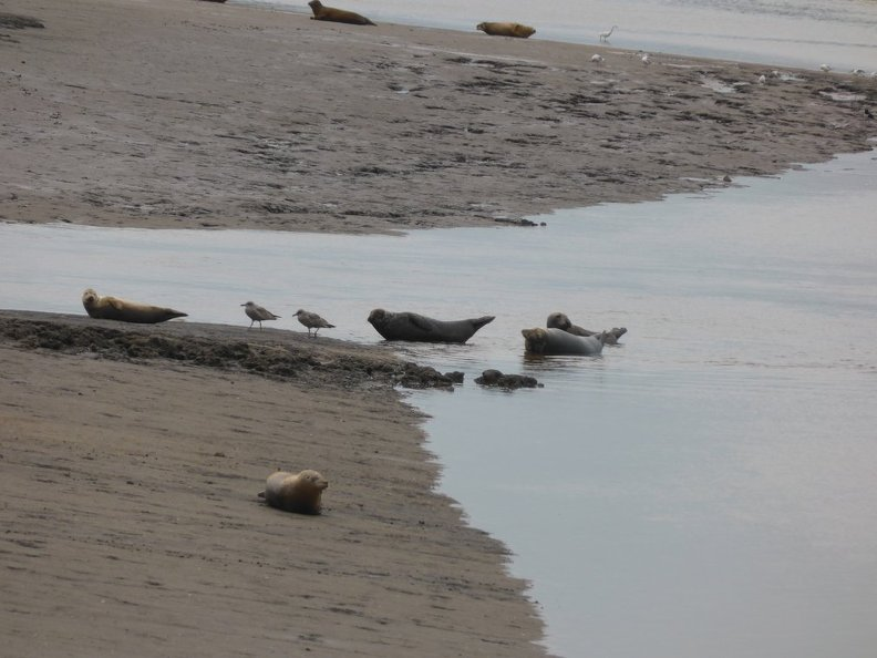 Seals_At_Seal_sands_0085.jpg