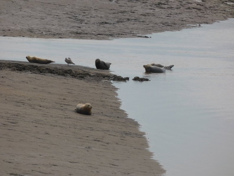 Seals_At_Seal_sands_0089.jpg