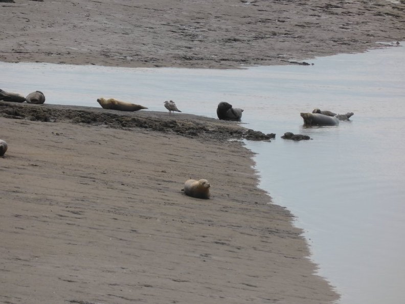 Seals_At_Seal_sands_0090.jpg