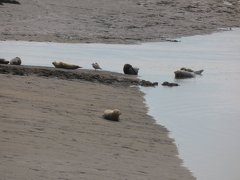 Seals At Seal sands 0091
