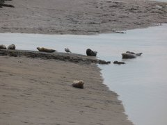 Seals At Seal sands 0092