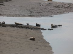 Seals At Seal sands 0095