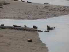 Seals At Seal sands 0096
