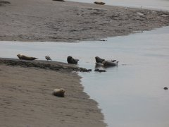 Seals At Seal sands 0097