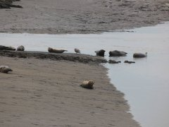 Seals At Seal sands 0099
