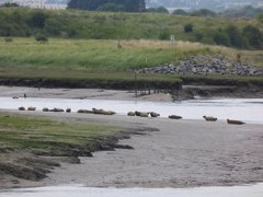 Seals At Seal sands 0100